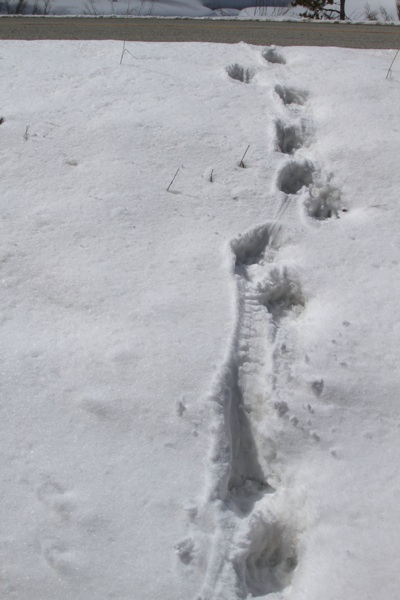 Wolverine Tracks up to Highway.  Conservation Media
